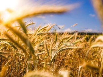 champ de blés